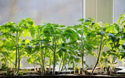 Весна время рассады - растения которые нужно поливать йодом